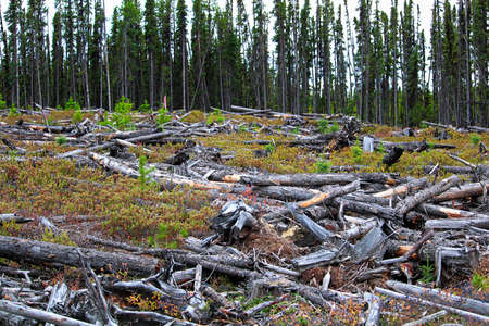 A section of forest that has been harvested and burned.