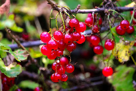 A bunch of red currants hanging on a branch. Archivio Fotografico