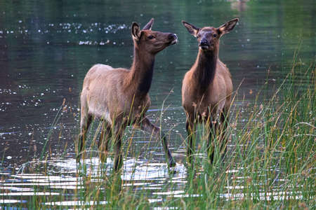 Two elk calves stand in shallow water.