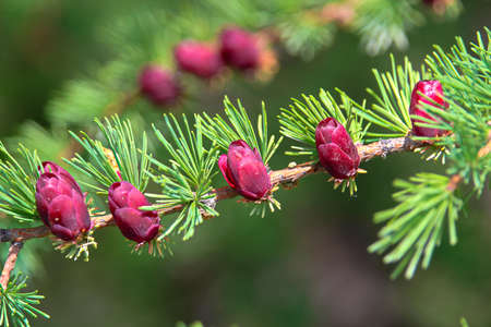 Closeup view of branches with young tamarack cones. Stock Photo - 91826248