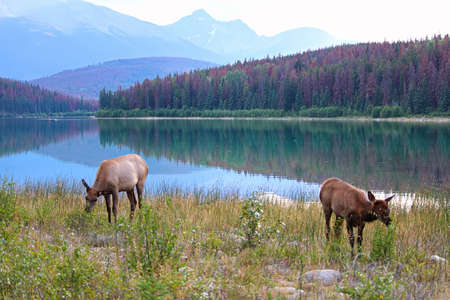 An elk and her calf graze with the Rocky Mountains in the background.