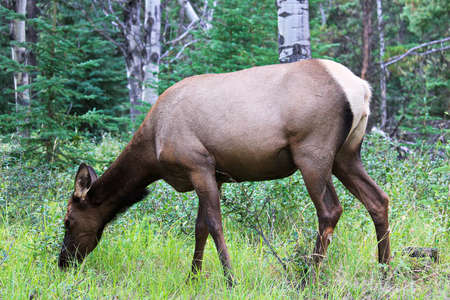 A female elk eating grass in the forest.