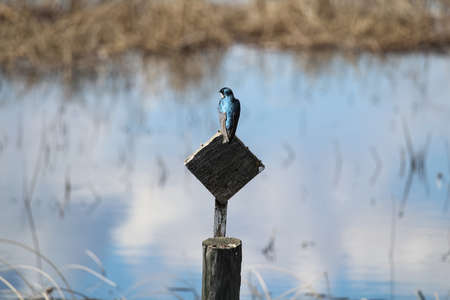 A blue tree swallow sits on a wooden post with water behind