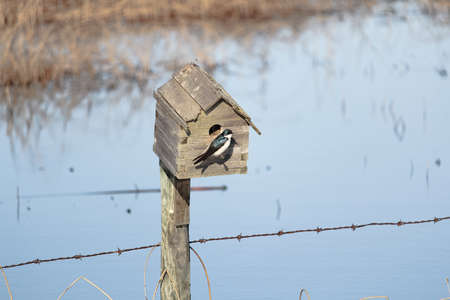 A blue tree swallow sits at the entrance to a bird house