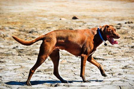 A dog walking across a dry mud flat