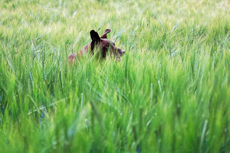 The ears of a dog running through a green barley field.