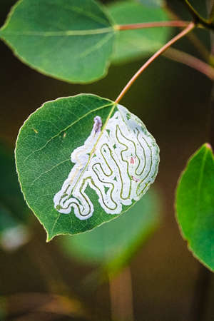 A tree infested with leaf miner insects