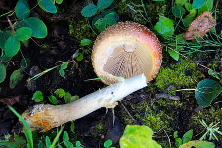 A view of the under cap and gills of an Amanita mushroom