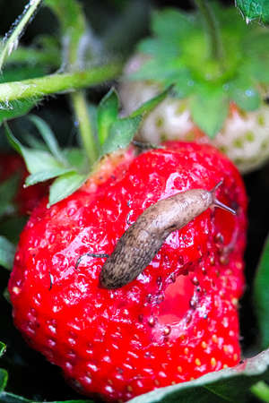 A slug crawls over an eaten strawberry