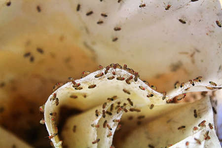 Closeup of wingless fruit-flies on a coffee filter. Stock Photo