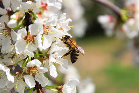 A bee sitting on plum blossoms in spring. Stock Photo