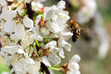 Closeup of plum blossoms with a blurred bee in the background. Stock Photo