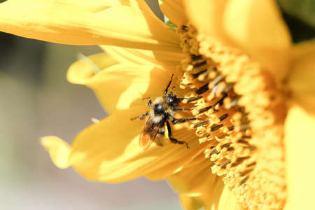 Closeup of a honey bee on a sunflower.