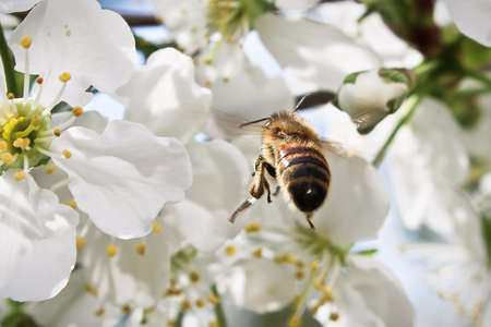 Macro of a bee flying up to a blossom. Stock Photo