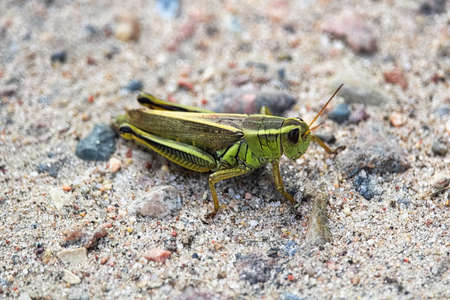 Closeup of a green grasshopper on sand.