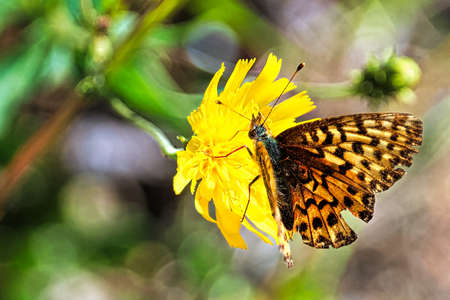 An Atlantis Fritillary rests on a yellow flower. Stock Photo