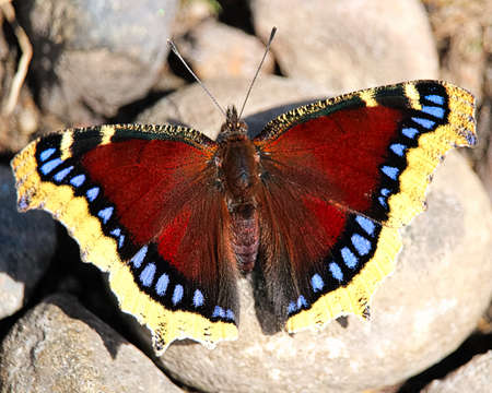 A Mourning Cloak butterfly rests on rocks. 스톡 콘텐츠