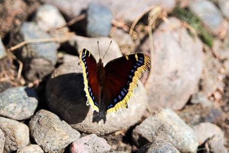 A Mourning Cloak butterfly rests on rocks. Stock Photo