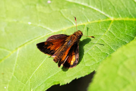 Closeup of a European Skipper butterfly on a leaf. Stockfoto