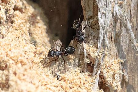 Boreal Carpenter Ants constructing their nest in a tree. Reklamní fotografie
