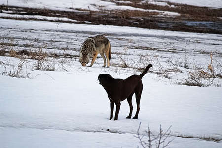 A domestic dog has it's first run in with a wild coyote. 写真素材 - 96494800
