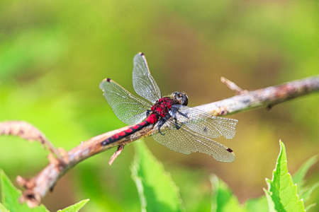 Closeup of a Boreal Whiteface dragonfly with damaged wings. Stock Photo