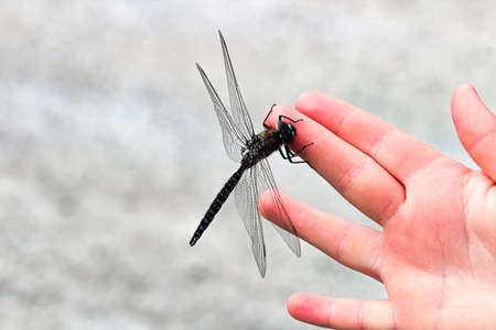 Closeup of a Darner dragonfly sitting on a hand. Stock Photo