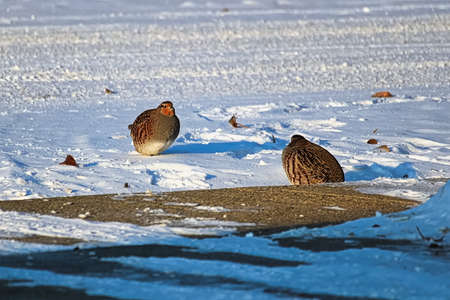 A pair of Gray Partridge in beside a sidewalk in winter. Stock Photo