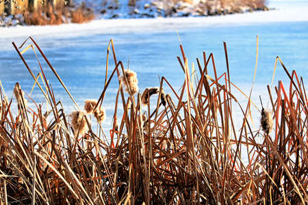 Dried cattails in winter against frozen blue water