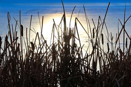 Silhouette of cattail in winter against a reflection on frozen water