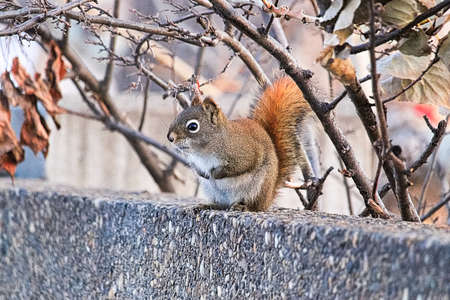 Side view of a red squirrel sitting on a wall in winter Stock Photo