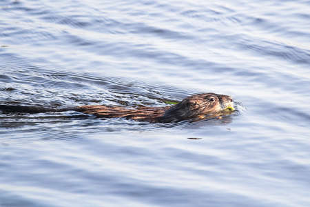 A muskrat swimming along in a pond