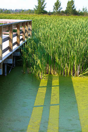 A shadow of a boardwalk falls on iridescent duckweed