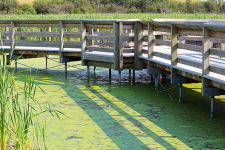 A boardwalk through a marshy duckweed waters Stock Photo