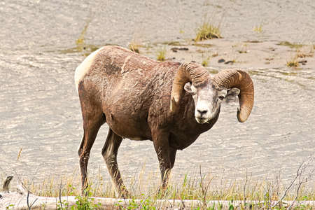 A bighorn sheep standing next to water