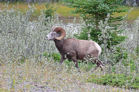 A bighorn sheep walking through small trees