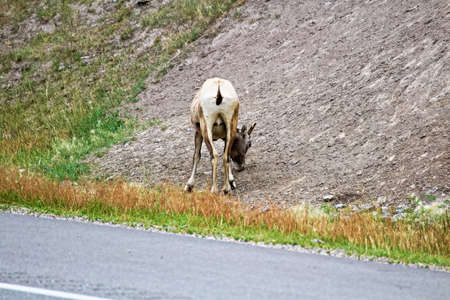 The back end of a female bighorn sheep along the highway