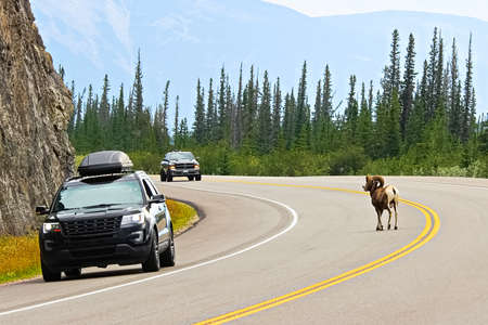 A male bighorn sheep crosses a busy highway on blind corner