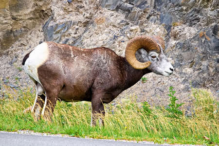 A male bighorn sheep eats along a highway