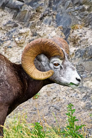A closeup view of a bighorn sheep eating grass