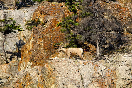 A male bighorn sheep on a mountain wall