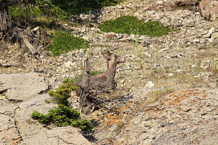 A female bighorn sheep camouflaged into the background