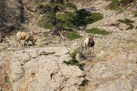 Two bighorn sheep on the side of a mountain