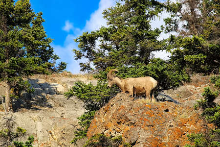 A bighorn sheep stands on the top of a rocky mound