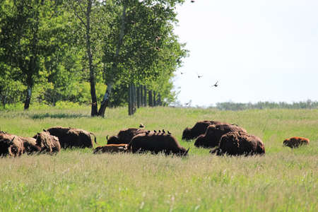 A herb of buffalo grazing as birds land on their backs
