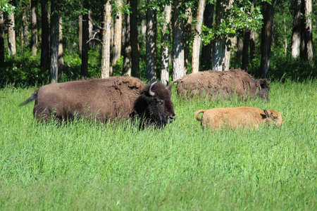 A buffalo and young calf walk through tall grass Stock Photo