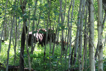 A blurred buffalo and calf seen through trees in the forest.