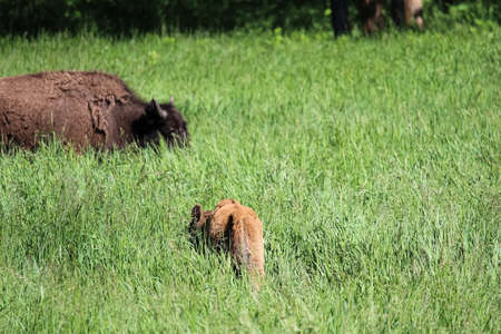 A young buffalo calf grazes in tall grass.