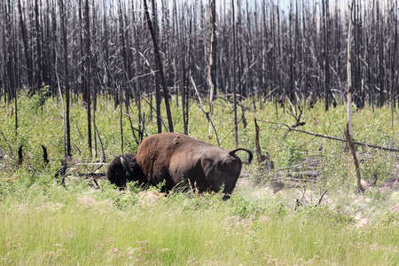 An angry buffalo raises its tail in a warning.