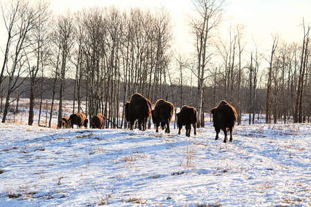 A herd of buffalo walk away in the cold winter.